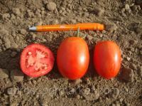 Таша F1 семена томата дет. (Hazera)
