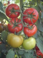 Семена томата тепличного GHS - 31, ранний, 1000 семян