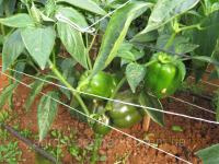 Семена красного перца тепличного GHS-26, среднеранний, 500 семян