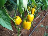 Семена желтого перца тепличного GHS-24, ранний, 500 семян