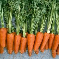 Шантане Ред Коред семена моркови Шантане 100-110 дн. (Hazera) 500.000шт