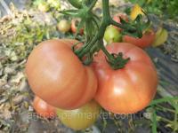 Семена розовый томат MILINDA F1 ранний, MRTOHUM Турция