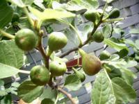 Инжир с плодами, высота 70 см