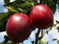 Яблони (иммунные сорта)
