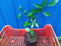 Маклюра оранжевая, (Адамово яблоко), 2-х летние саженцы, отводки