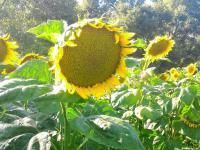 Семена подсолнуха Рими под Евролайтинг