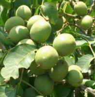 Саженцы грецкого ореха Приднестровский