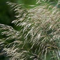 Семена костра безостого