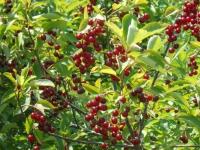 Саженцы вишни Панды