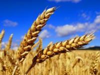 Семена озимой пшеницы Глебовчанка