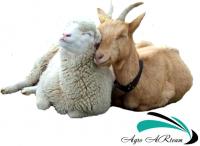 Оборудование для овец и коз