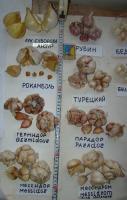 Анзур Лук Суворова