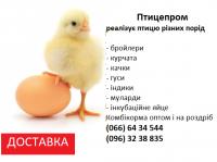 Бройлер КОБ-500, РОС-708