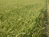 Семена пшеницы озимой Паляница, первая репродукция