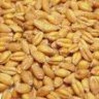 Семена пшеницы озимой Подолянка