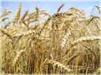 Семена пшеницы элита