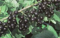 Саженцы смородины черной Юбилейная Копаня