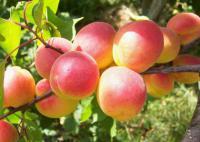 Саженцы абрикоса Краснощекого