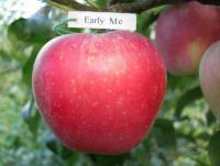 Саженцы яблони летних сортов Ерли Мак