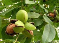 Саженцы ореха грецкого