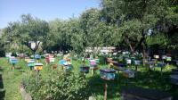 Чистопородные пчеломатки Карпатской породы