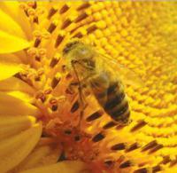 Семена подсолнечника LG 5555