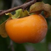Саженцы Хурма Королек (высокоурожайный, само опыляющийся сорт)