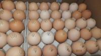 Яйца инкубационные (маркированные) КООБ 500 Венгрия, Польша, мясо-яичнные разные породы