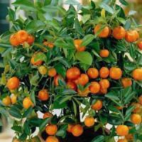 Саженцы мандарина Коване -Васе