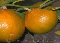 Саженцы мандарина Уншиу
