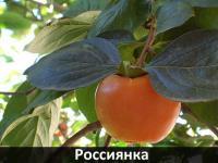 """Саженцы хурмы """"Россиянка"""""""