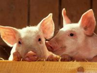 Комбикорм для свиней 40-60 кг