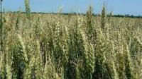Семена озимой пшеницы  Магістраль (дворучка) ЧССОП Бор