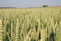 Семена озимой пшеницы Skagen - Скаген