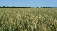 Семена озимой пшеницы Сталева (дворучка) ЧССОП БОР