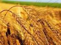 Семена пшеницы озимой Бория суперэлита