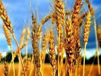 Семена пшеницы озимой Наснага (Первая репродукция)