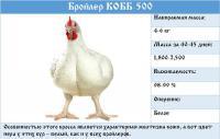 Цыплята Бройлеры КООБ 500, индюшата, мясо яичные и яичные породы