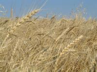 Рожь семена Харьковская 98