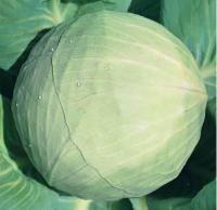 Семена капусты сорт Белоснежка