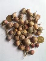 Чеснок Любаша, посадочный чеснок однозубка