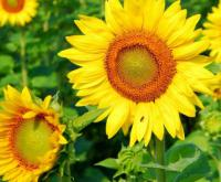 Семена подсолнечника Rustica, Euralis Groupe
