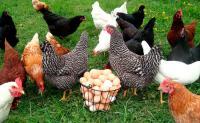 Как приготовить сбалансированный корм для кур