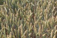 Яровая канадская пшеница Альберта