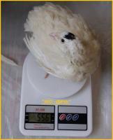Яйца инкубационные перепела Техасец - бройлер
