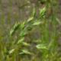Надаемо послуги по очищенню насіння кормових трав