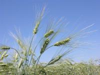 Семена пшеницы твердой яровой МІП Райдужна, элита