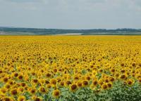 Насіння соняшнику селекції АПФ «Флора» - запорука високого урожаю