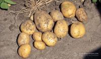 6 чинників, що вплинули на цьогорічний урожай картоплі.