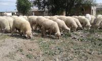 Сперма баранов мясных пород